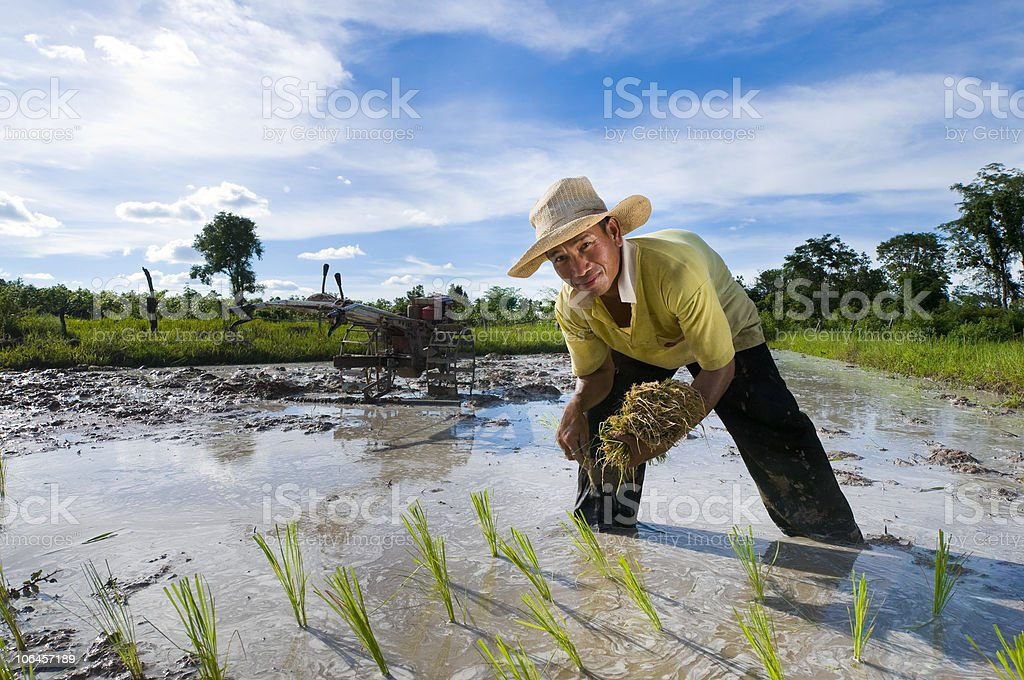 Smiling Asian farmer harvesting rice from field stock photo