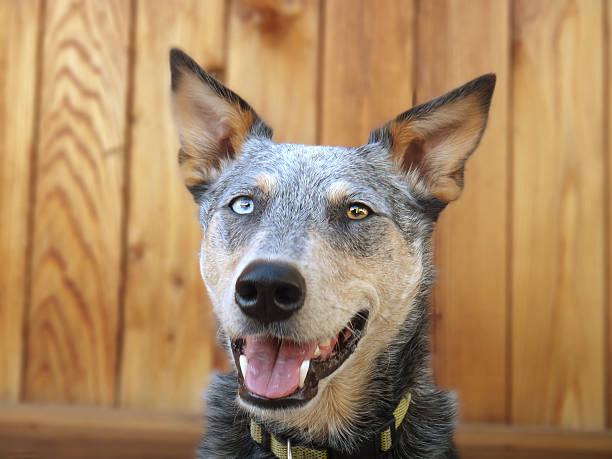 Smiling Australian Cattle Dog Headshot on wood background stock photo