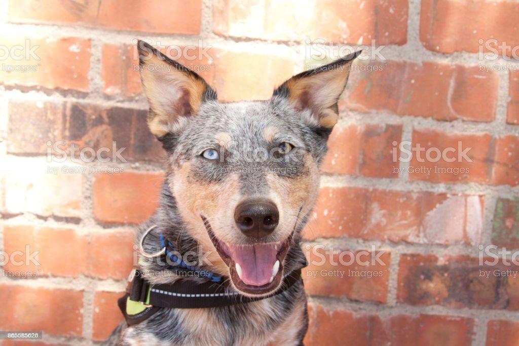 Smiling Australian Cattle Dog Mix headshot stock photo