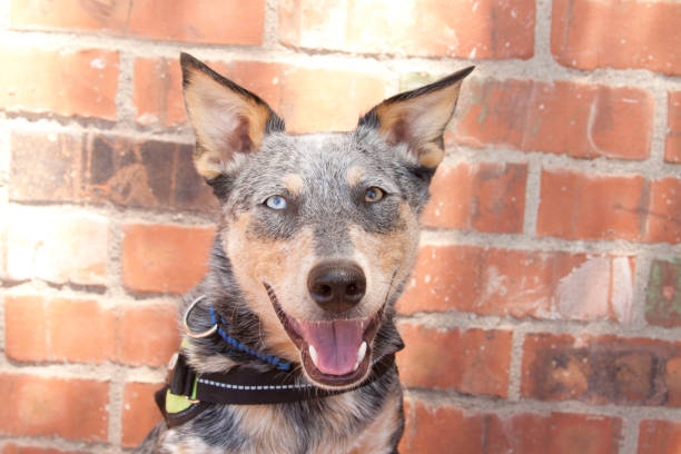 Smiling Australian Cattle Dog Mix headshot stock photo