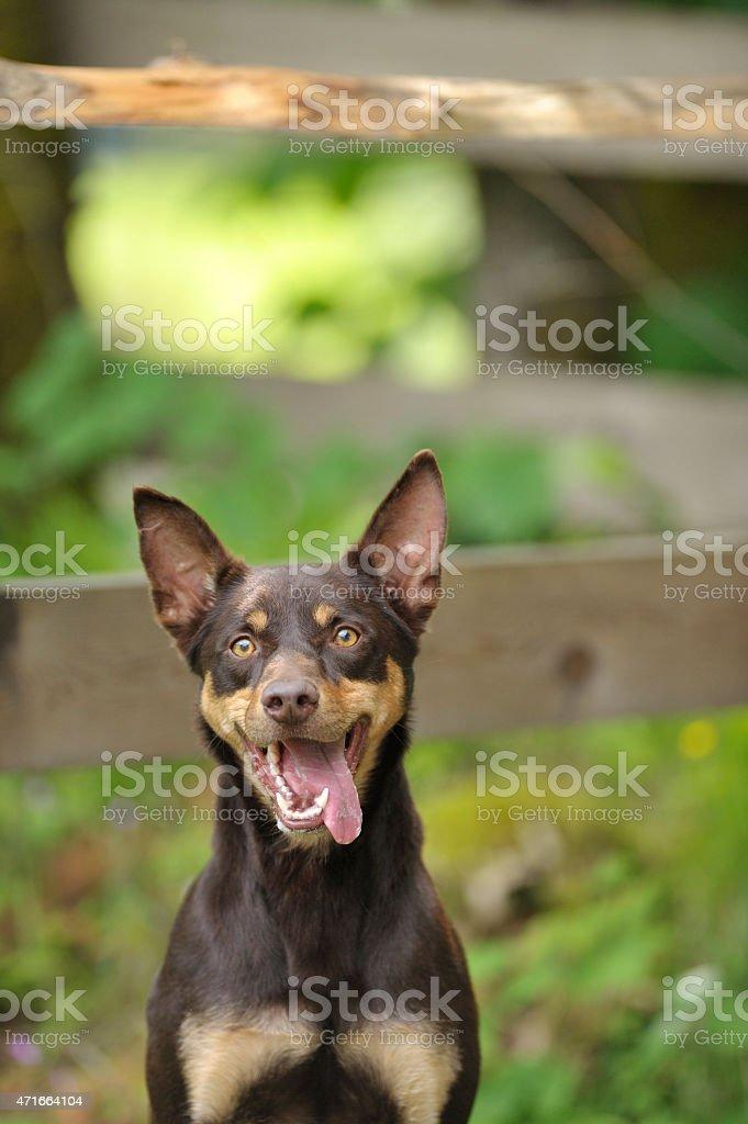 Smiling Australian Kelpie stock photo