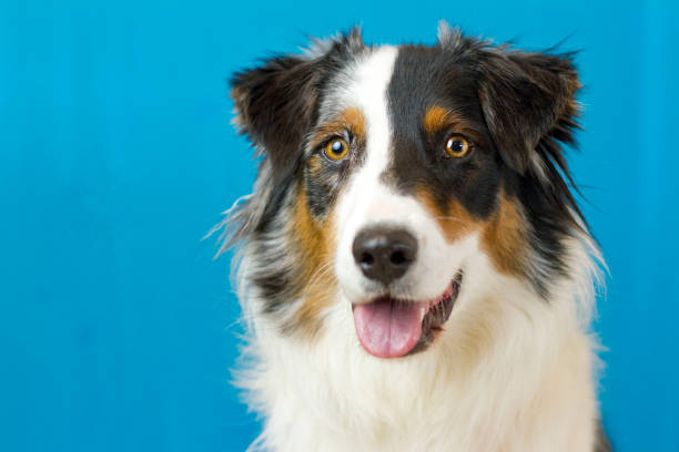 Smiling Australian Shepherd Headshot stock photo