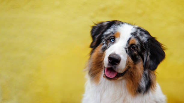 Smiling australian shepherd portrait on background of bright yellow wall with copy space. stock photo
