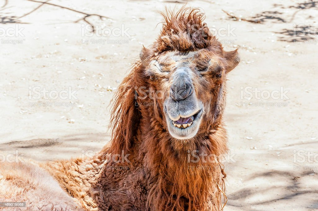 Smiling Bactrian camel stock photo