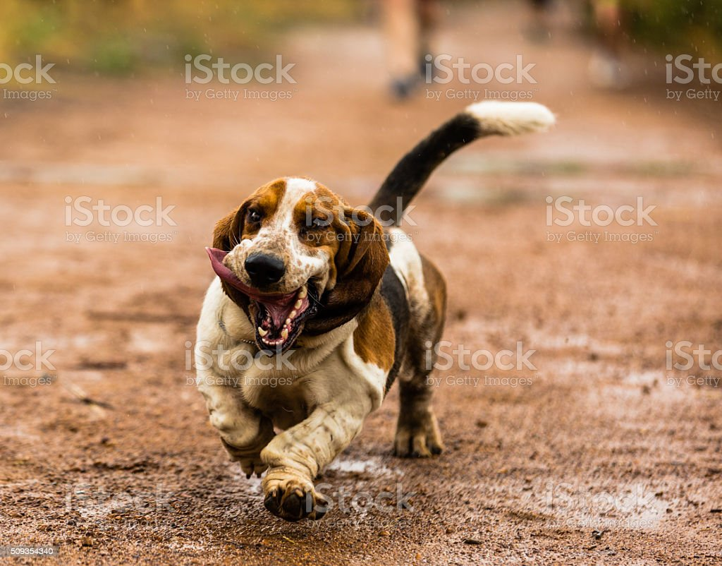 Uśmiech Basset Biegając w deszczu – zdjęcie