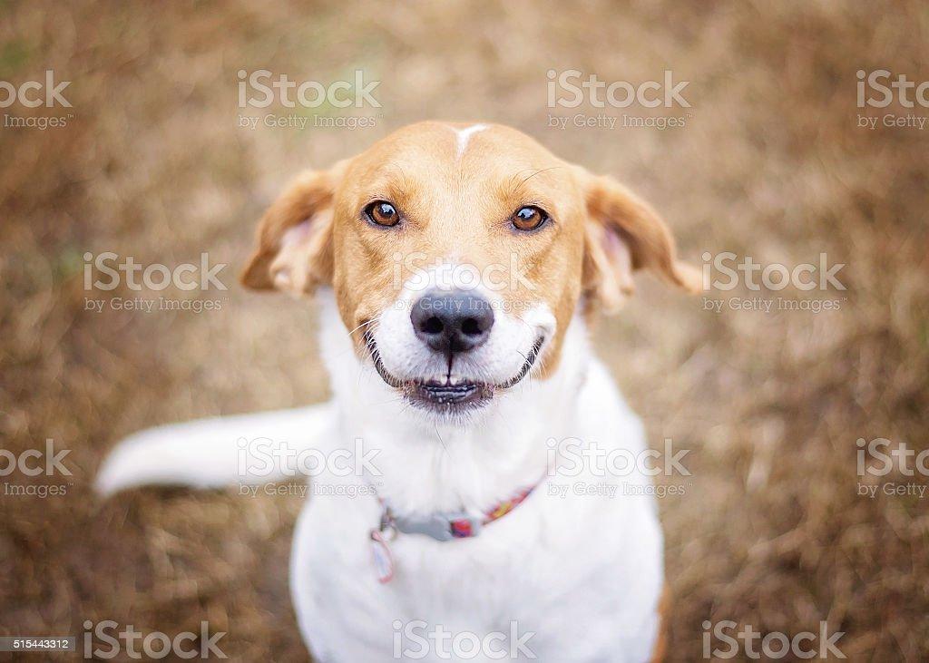 Smiling Beagle Mix stock photo