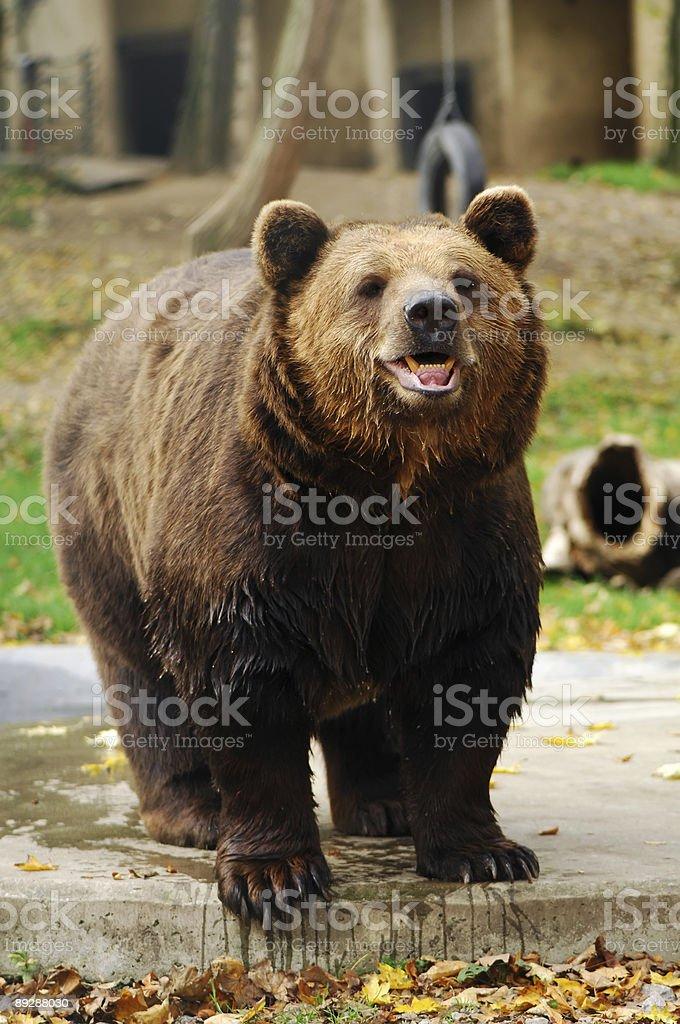 Smiling bear stock photo