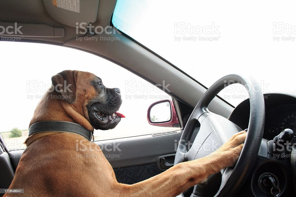A smiling big dog driving a car stock photo