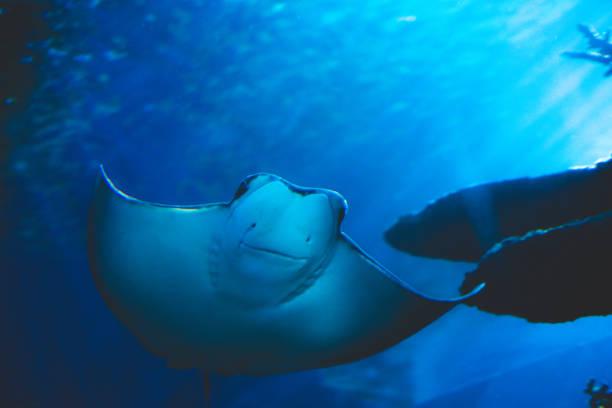 Smiling blue ray fish stock photo