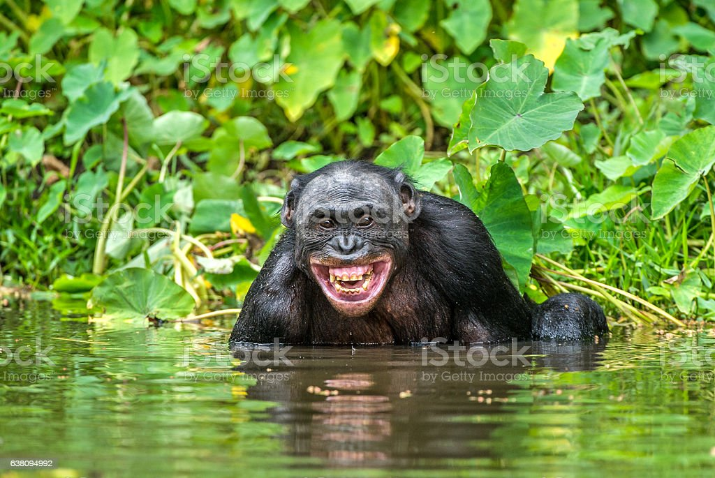Smiling Bonobo in the water. - Photo