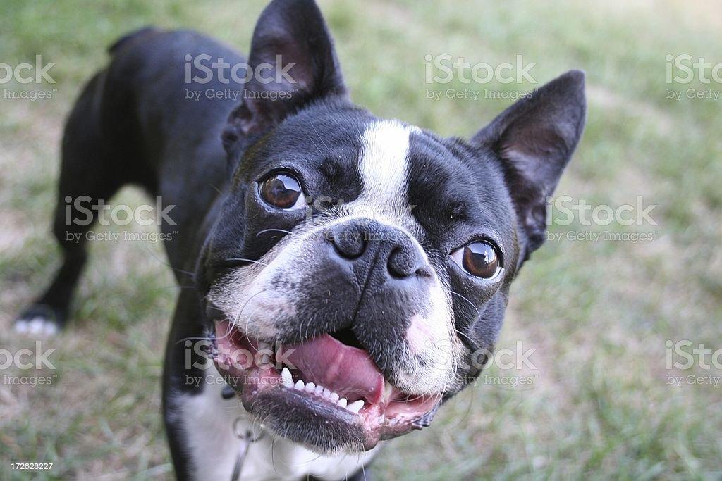 Smiling Boston Bull Terrier royalty-free stock photo