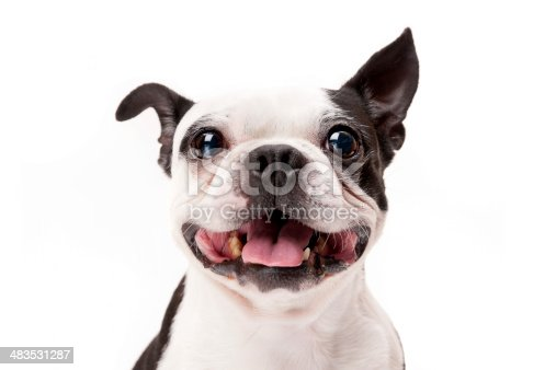 Happy Boston Terrier Dog Close-Up on White Background