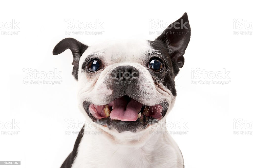 Smiling Boston Terrier Dog on White Background Close-up stock photo
