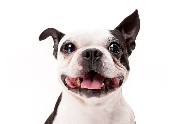 smiling boston terrier dog on white background close-up - dog stock photos and pictures