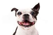 クローズアップ写真の笑顔ボストンテリア