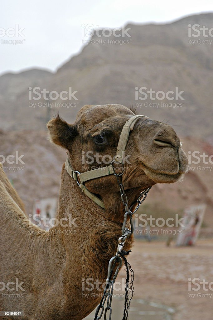 Smiling camel royalty-free stock photo