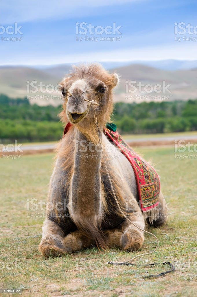 smiling camel royalty-free stock photo