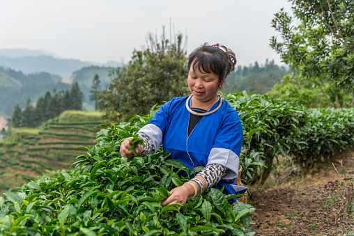 Smiling Chinese tea picker