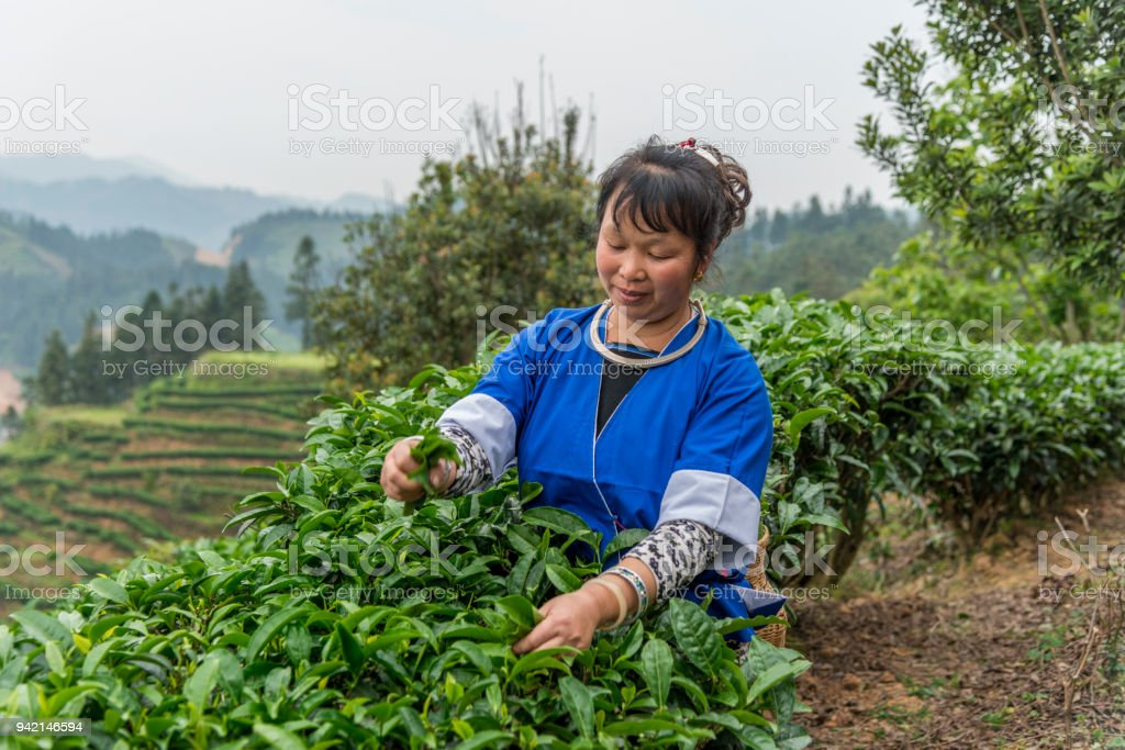 Smiling Chinese tea picker stock photo