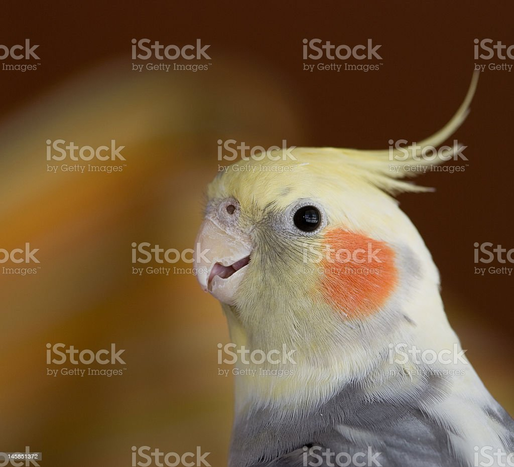 smiling cockatiel stock photo