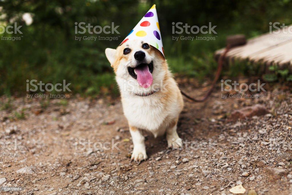 Smiling corgi dog stock photo