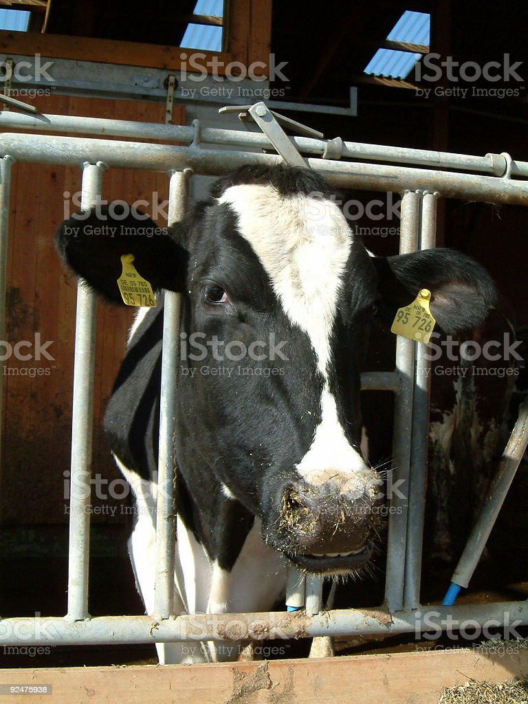 smiling cow royalty-free stock photo