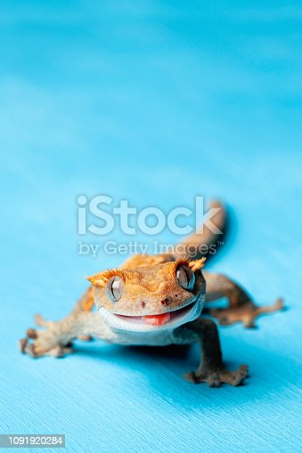 Smiling crested gecko at blue background