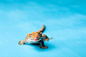 Smiling crested gecko at blue background