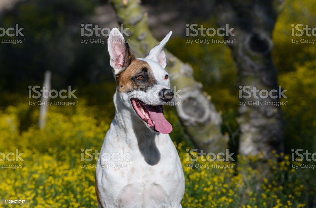 Smiling dog posing in a super bloom of yellow wildflowers