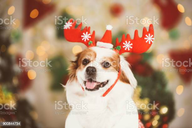 Smiling dog at the background of christmas background picture id900844734?b=1&k=6&m=900844734&s=612x612&h=u6u8dza3mx00lin1mpomw kkxlmui 9pw1pwma3ddy4=