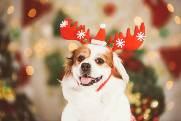 Smiling dog at the background of christmas background picture id900844734?b=1&k=6&m=900844734&s=612x612&w=0&h=jcsp 5cw0ehpu2h07 aliquwjh4vklg500zzmqjv8za=
