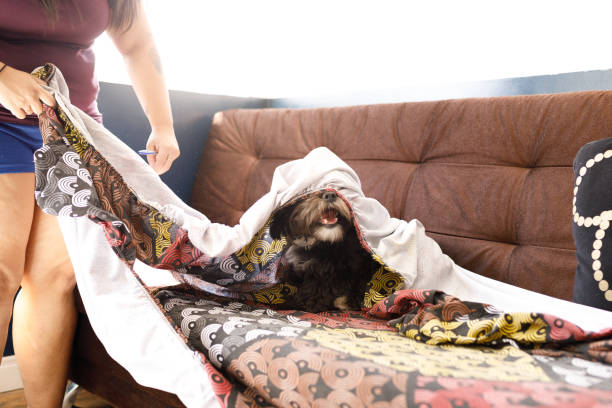 Smiling dog partially covered by bed sheet playing on sofa stock photo