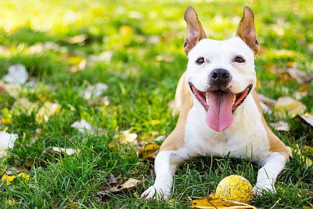Smiling dog picture id497157050?b=1&k=6&m=497157050&s=612x612&w=0&h=byyl3del ln75cdhzmnhfyo i0hmzhyo7oun1e61f9k=