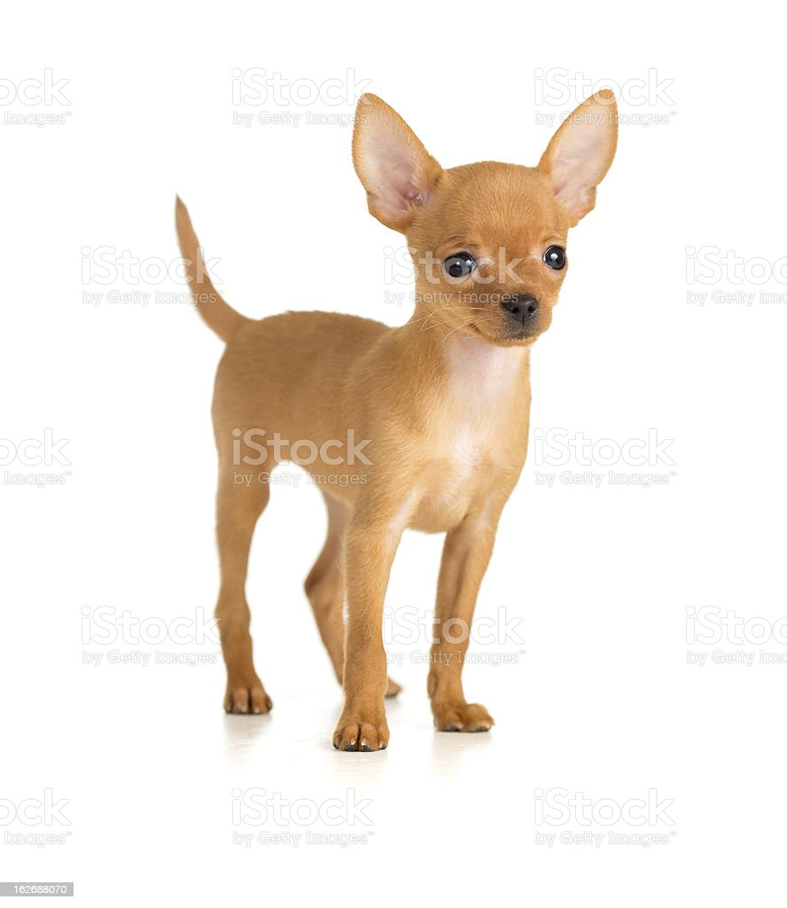 smiling dog Russian toy terrier royalty-free stock photo
