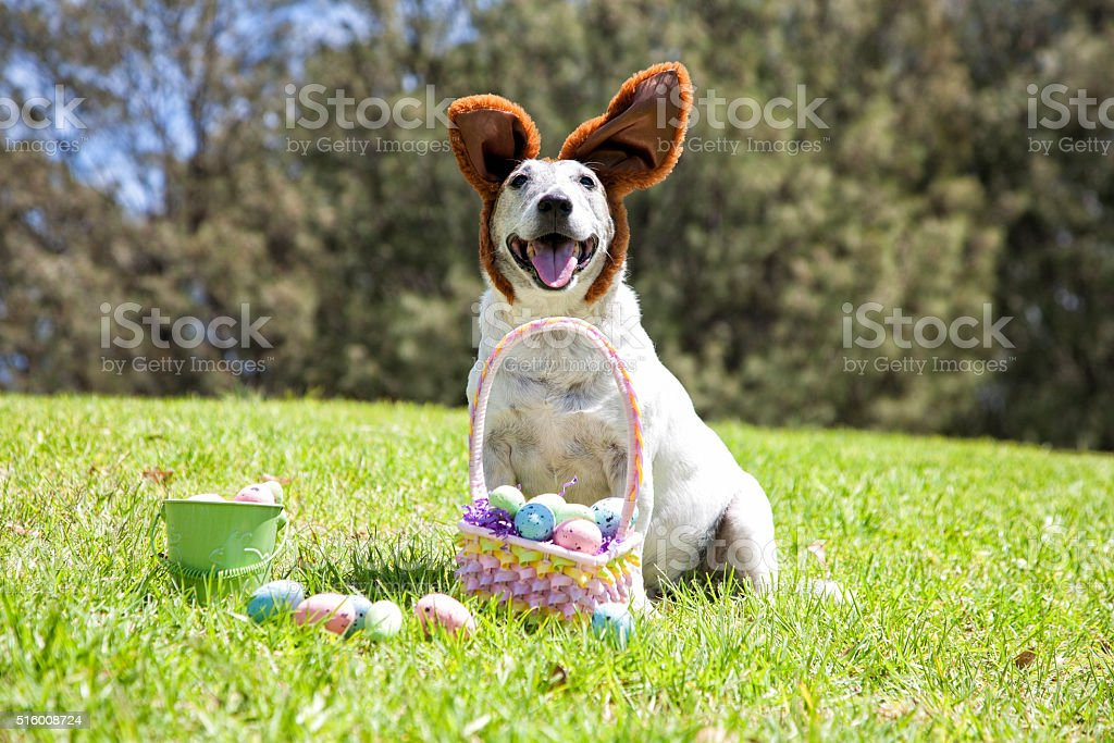 Smiling Easter Bunny Dog stock photo
