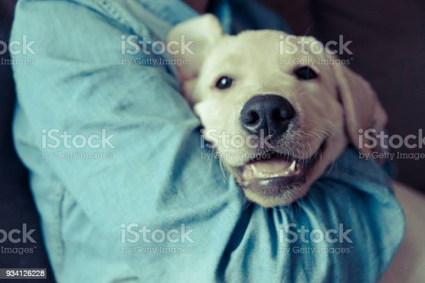 Smiling face of labrador dog in hugs picture id934126228?b=1&k=6&m=934126228&s=612x612&h=lre vgs3gmwsrd68aumh4mo3ft1soorkknb4y4gm9xy=