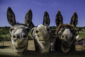 Smiling farm donkeys, detail of mammals, domestic animal