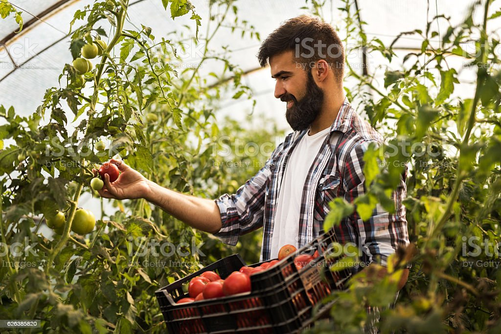 Smiling farm worker picking ripe tomatoes in a greenhouse. stock photo