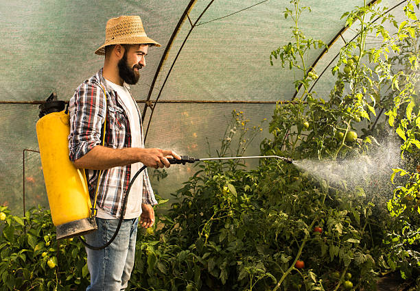 Smiling farm worker spraying tomatoes in polyethylene tunnel. Smiling man standing in a greenhouse and spraying tomatoes with crop sprayer. herbicide stock pictures, royalty-free photos & images