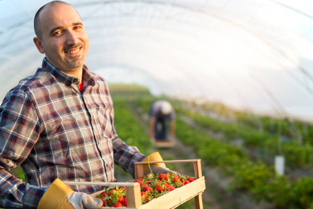 Smiling farmer holding strawberries in an organic farm. Healthy lifestyle. Smiling farmer holding strawberries in an organic farm. Healthy lifestyle. strawberry field stock pictures, royalty-free photos & images