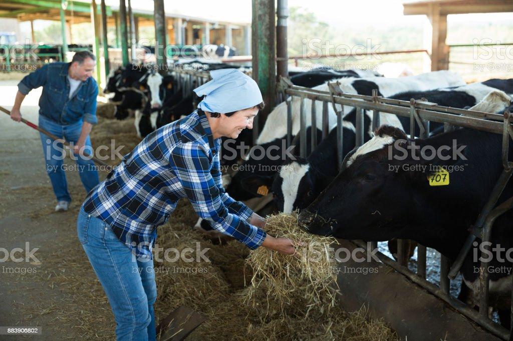 Smiling female feeding cows on farm stock photo