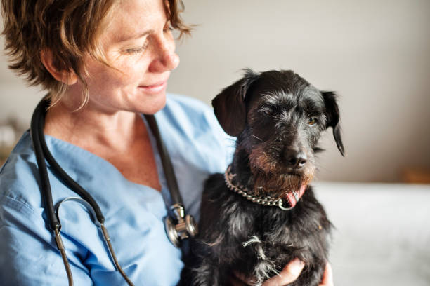 Smiling female veterinarian holding a little dog in her arms stock photo