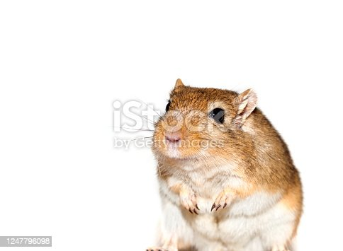 smiling gerbil looks curious - exempted on white