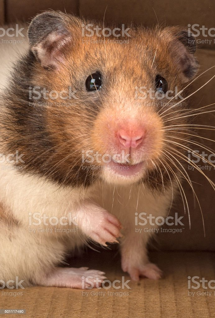 smiling golden hamster looking out of a box stock photo