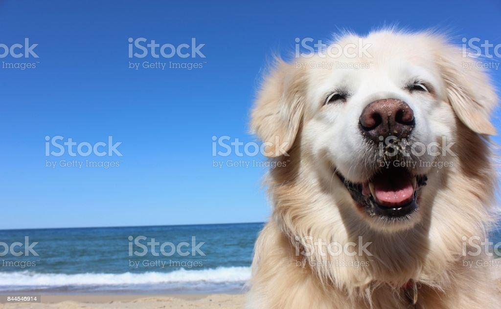 Smiling Golden Retriever stock photo