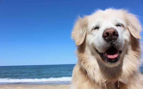 smiling golden retriever - golden retriever zdjęcia i obrazy z banku zdjęć