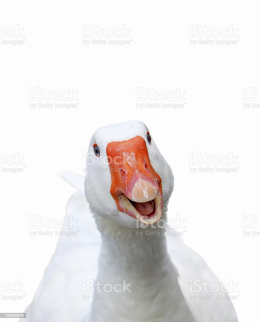 Smiling goose stock photo