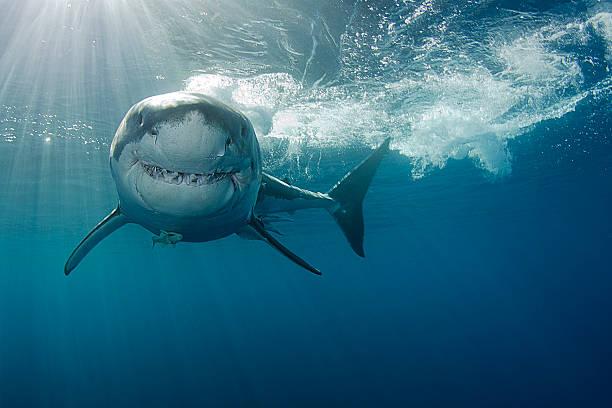 sorridente grande squalo bianco - squalo foto e immagini stock