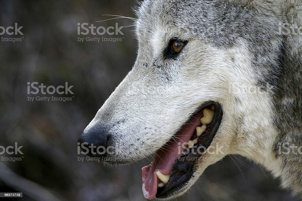 미소 그레이 Wolf royalty-free 스톡 사진