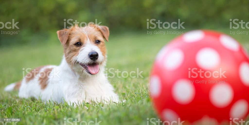 Banner of a happy smiling pet dog puppy as playing with a dotted ball...